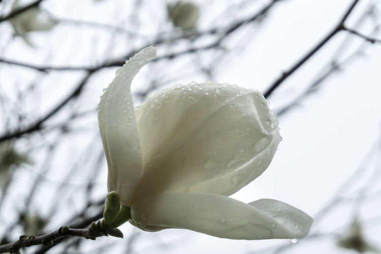 Perfect wet Magnolia flower Beauty In Nature Close-up Day Drop Drops Flower Fragility Freshness Magnolia Nature No People Petal Plant Rainy Rainy Day Rainy Days Waterdrops Wet Wet Flower
