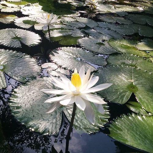 Lotus Whitelotus Lotuspond Bali INDONESIA Baliranihotel Nexus5 Nexus5photography Nofilter Noedit Instaflower Gardenlover Naturelovers Flowers Whiteflowers Mobilephotography Ig_indonesia_ Ig_bali Ig_asia Ig_naturelovers