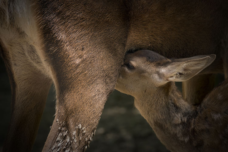 Mother Deer Animal Animal Body Part Animal Eye Animal Head  Animal Love Animal Photography Animal Themes Animals Baby And Mom Baby Animals Close-up Deer Deers Mammal Mother Deer And Bambi. Mother Nature Nature No People Outdoors Standing Togetherness