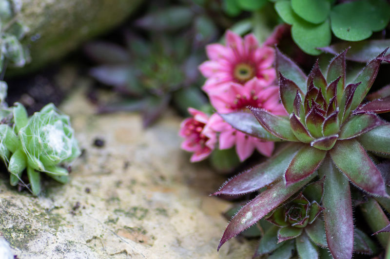 Close-up of pink succulent plant