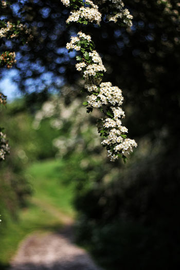 Country path. Beauty In Nature Blossom Close-up Country Path Day Flower Flower Head Flowering Plant Focus On Foreground Fragility Freshness Green Color Growth Land Nature No People Outdoors Pathway Plant Selective Focus Springtime Tranquility Tree Vulnerability  White Color