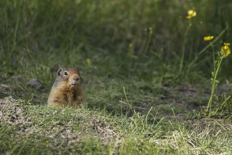 Canadian groundhog Canada Groundhogs Wildlife Photography Wildlife & Nature Alberta Wildlife Groundhog Nature Grass Close-up