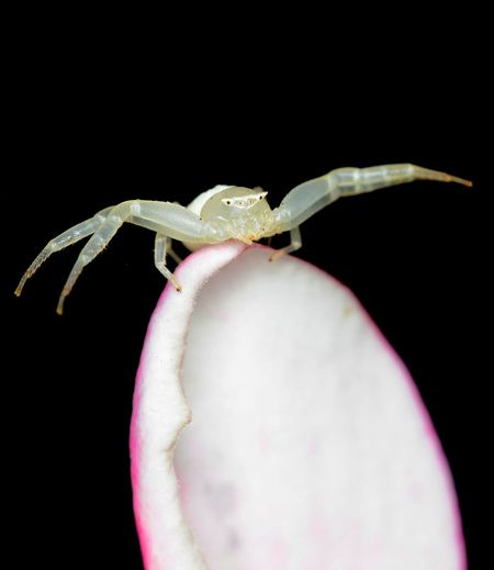 Crab spider on petal One Animal Animal Themes Animals In The Wild Animal Wildlife Black Background Close-up No People Nature Outdoors Macro Nature Beauty In Nature Spider Arachnid Flower Petal Crab Spider White Spider Flower Spider
