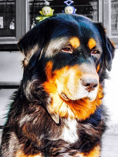 light and reflection India Tibetan Mastiff Animal Themes Pets Domestic Animals One Animal Dog Mammal Rottweiler No People Nature Outdoors Close-up Day Front view of a Tibetan Mastiff :) My Year My View Always Be Cozy Exploring Style