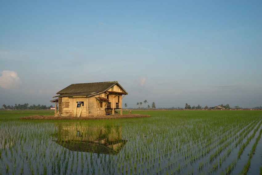Abandoned wooden house in middle of paddy field with a sunrise sky in the background. Agriculture Beauty In Nature Blue Built Structure Cottage Crop  Cultivated Land Day Farm Farmhouse Farmland Field Green Color Growth Landscape Nature Outdoors Plant Rice Paddy Rural Scene Scenics Sky Tranquil Scene Tranquility Water