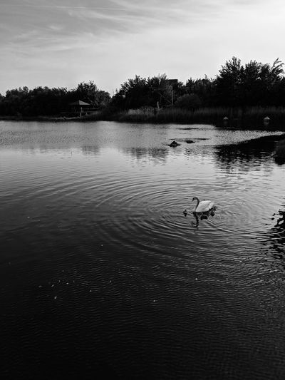 Evening over Canada Water Black And White Lake Evening Sun Swimming Ripples Ripples In The Water London Canada Water Babies Baby Animals Parent Parenting Bird Water Swimming Lake Reflection Animal Themes Wetland Swan Water Bird Cygnet White Swan