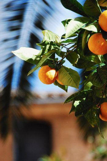 Orange - Fruit Orange Tree Leaf Fruit Food And Drink Plant Plant Part Healthy Eating Growth Food Freshness Focus On Foreground Close-up Tree Nature Citrus Fruit Beauty In Nature Fruit Tree Day Wellbeing No People Agriculture