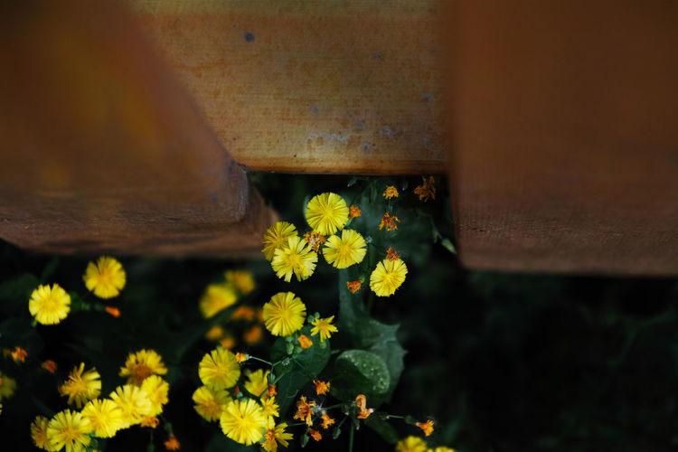有些常看见的花,不知道该怎么称呼,有些总听到的话,也不知道有什么出处。 flower Flowering Plant Flower Freshness Outdoors Yellow Fence Looking Down