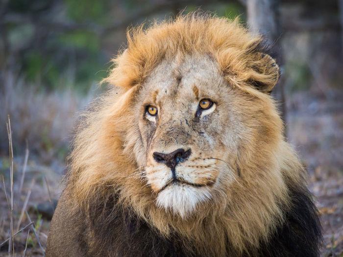 Kruger Park Kruger Krüger National Park  Africa African Safari Safari Animals Animal Wildlife South Africa Lion Lion - Feline Male