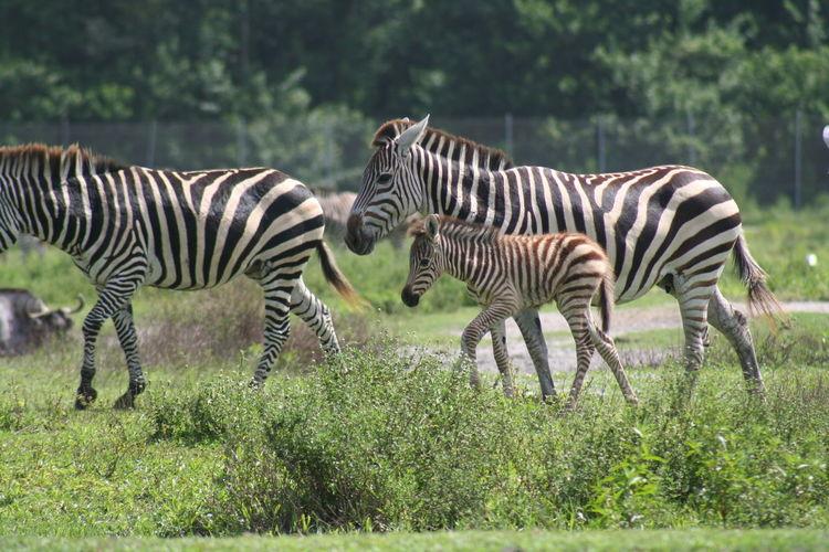 Three zebras walking in forest