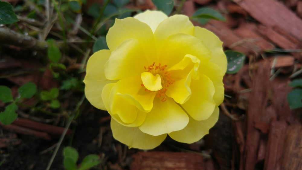 Pure Pure Photography No Edit/no Filter Yellow Rose Flower Collection Vibrant Color Single Flower