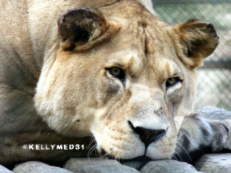 Sleepy Lion ♡ Animal The Purist (no Edit, No Filter) EyeEm Nature Lover Relaxing