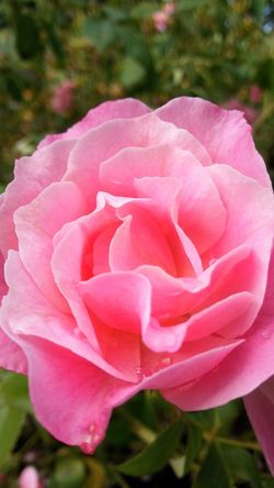 Flower Petal Pink Color Flower Head Nature Rose - Flower Beauty In Nature Fragility Freshness No People Close-up Outdoors Blooming Rose Petals