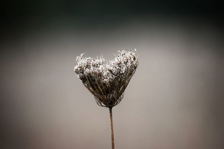 Close-Up Of Dried Queen Annes Lace
