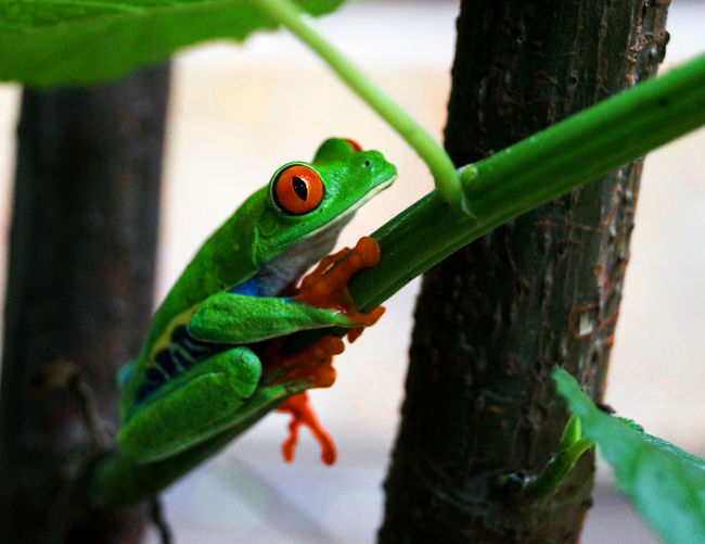 Frog Amphibian Animal Animal Eye Animal Head  Animal Scale Animal Themes Animal Wildlife Animals In The Wild Close-up Day Focus On Foreground Frog Red Eyes Green Color Leaf Lizard Nature No People One Animal Outdoors Plant Plant Part Reptile Selective Focus Tree Vertebrate