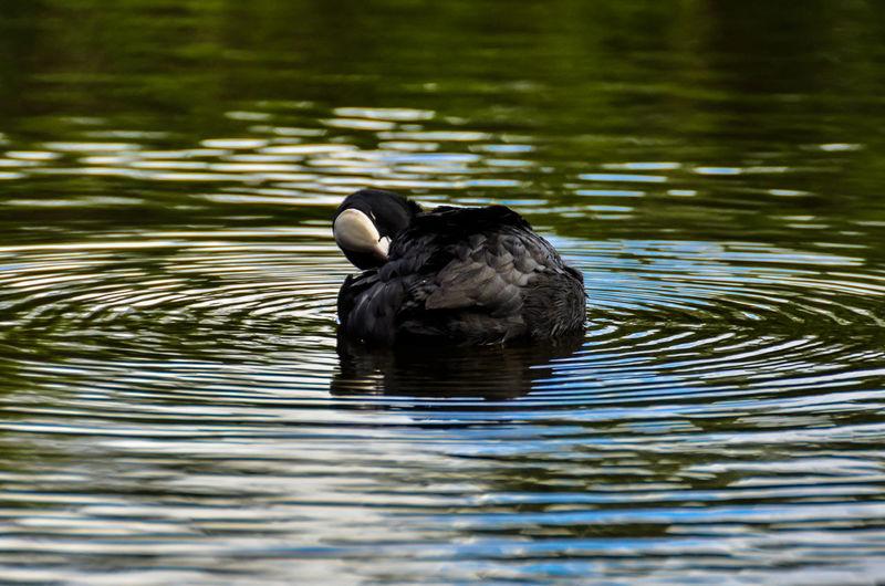 Coot swimming in lake