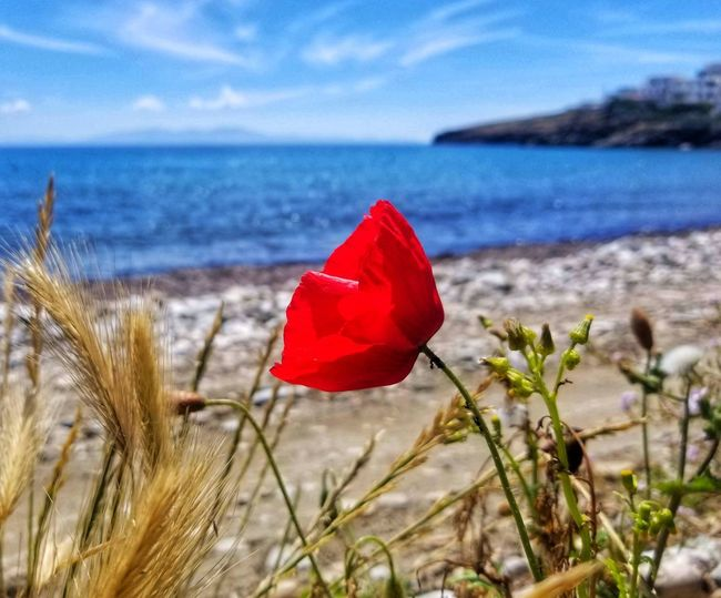 Close-up of red rose on sea