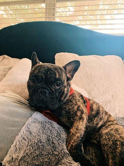 Portrait of a dog lying down on sofa