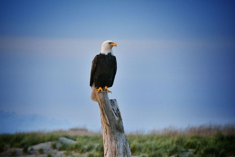 Nature_collection EyeEm Nature Lover Bird Photography Bald Eagle