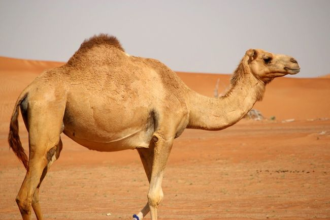 Desert seeking EyeEm Selects Animal Themes Mammal Domestic Animals Desert One Animal Sand Side View Clear Sky Landscape Outdoors Day Nature Sky Sand Dune No People Arid Climate