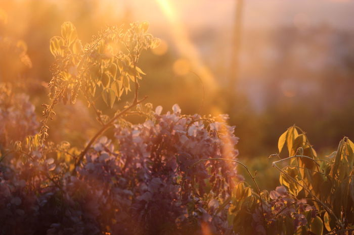 43 Golden Moments Beauty In Nature Close-up Day Freshness Green City Have A Nice Day♥ No People Outdoors Plant Sunlight Sustainable Development Tranquility Good Morning WOW Purple Flower Beauty Fragility Nature Zalaegerszeg Smart City Rain Of Gold Lilac Syringa