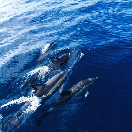 Friendly dolphins Bluewavesmission Azores Blueocean Swimming Dolphins Travel Atlantic Ocean Action Saomiguel Daytrip Landscape Fantastic Experience Photography Sony Portugese
