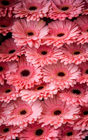 Full frame shot of gerbera daisy flowers