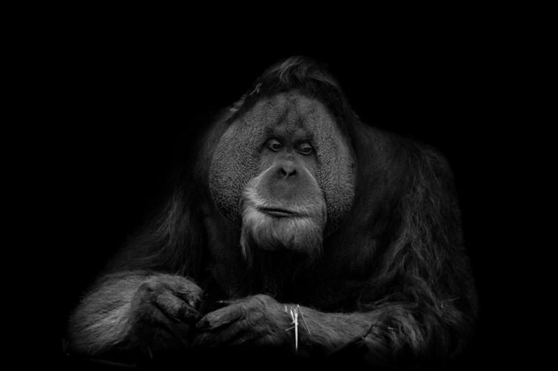 Close-up of gorilla against black background