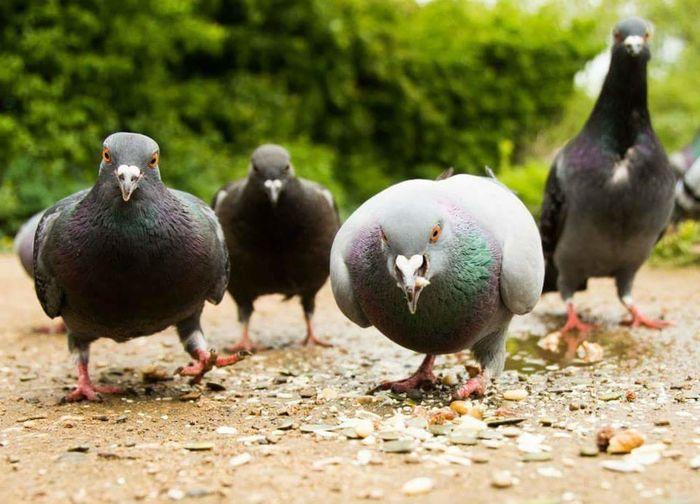 Pigeon Birds Menacing Funny Inquisitive Pigeon