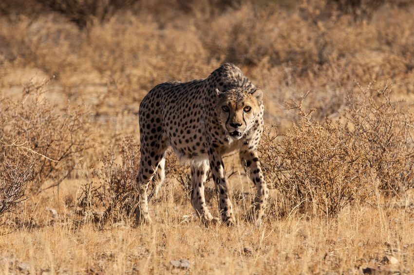 Animal Themes Animal Wildlife Animals In The Wild Cheetah Day Feline Full Length Grass Leopard Lepard Mammal Nature No People One Animal Outdoors Safari Animals Scary Spotted Walking