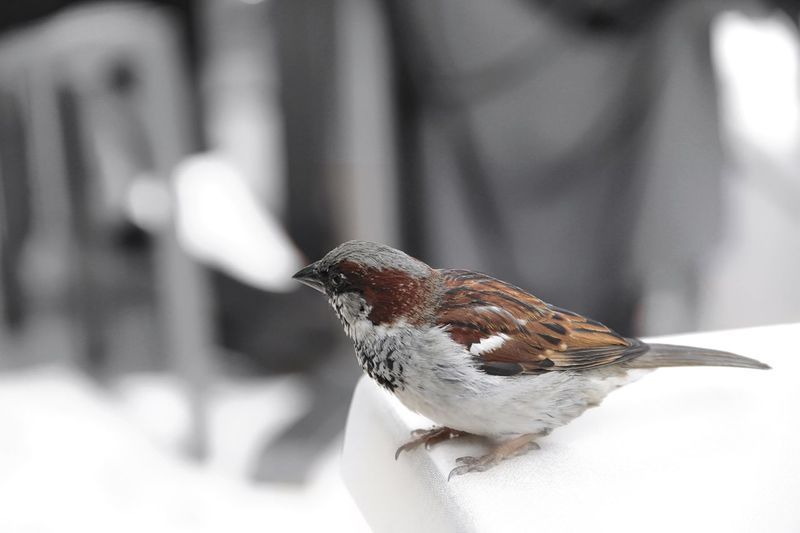 Sparrow on table. Beautiful Nature Canon EOS 7D Table Vacation Time Looking Little Birdie Sparrow Bird Animal Brown And White Little Animal Bird On Table Bird Sparrow Animal Wildlife Animals In The Wild Animal Themes Animal One Animal Focus On Foreground Close-up Nature No People Beauty In Nature Outdoors Invertebrate Winter Day Animal Body Part