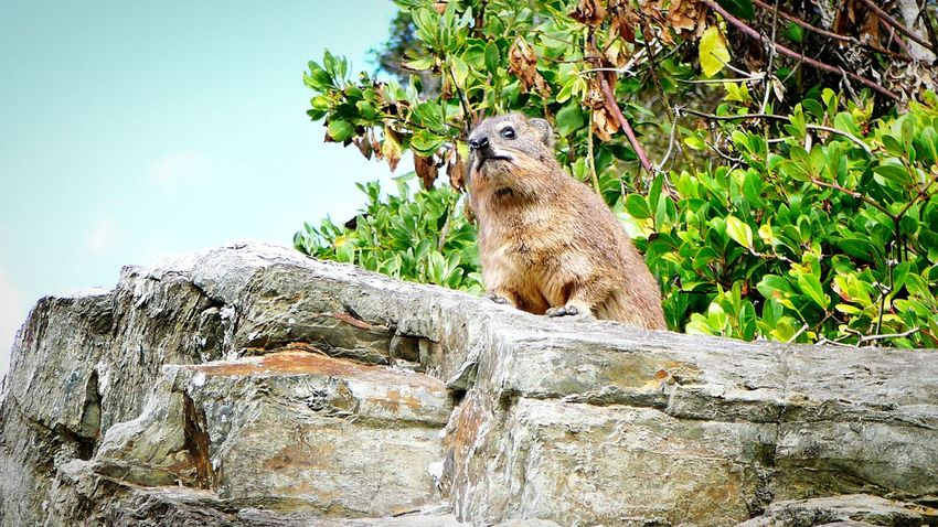 Furry Musketeer ~ Animal Wildlife Animals In The Wild Mammal One Animal Animal Animal Themes Outdoors Nature Day No People Tree Sky Dassie Elephant Lookout Standing Guard Matriarch Beauty In Nature Protection South Africa, Tsitsikamma National Park Rock Face On The Ledge