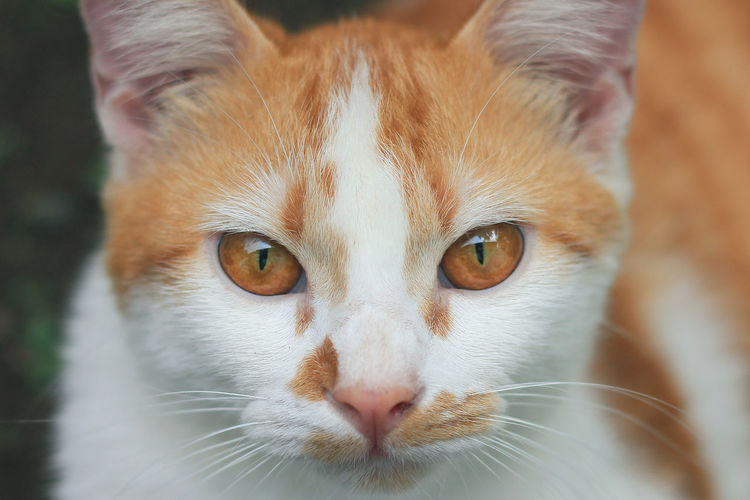 Close Up Cat Face with a Pair of Wild Orange Eyes Cat Close-up Animal Animal Themes One Animal Pets Animal Body Part Domestic Cat Yellow Yellow Cat Yellow Cat Eyes Human Friend Human Friendly Looking At Camera