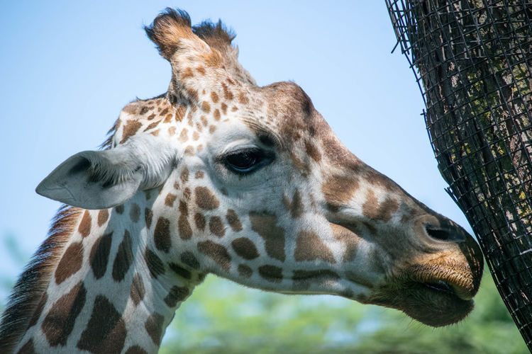 Close-Up Of Giraffe By Tree Trunk Against Sky