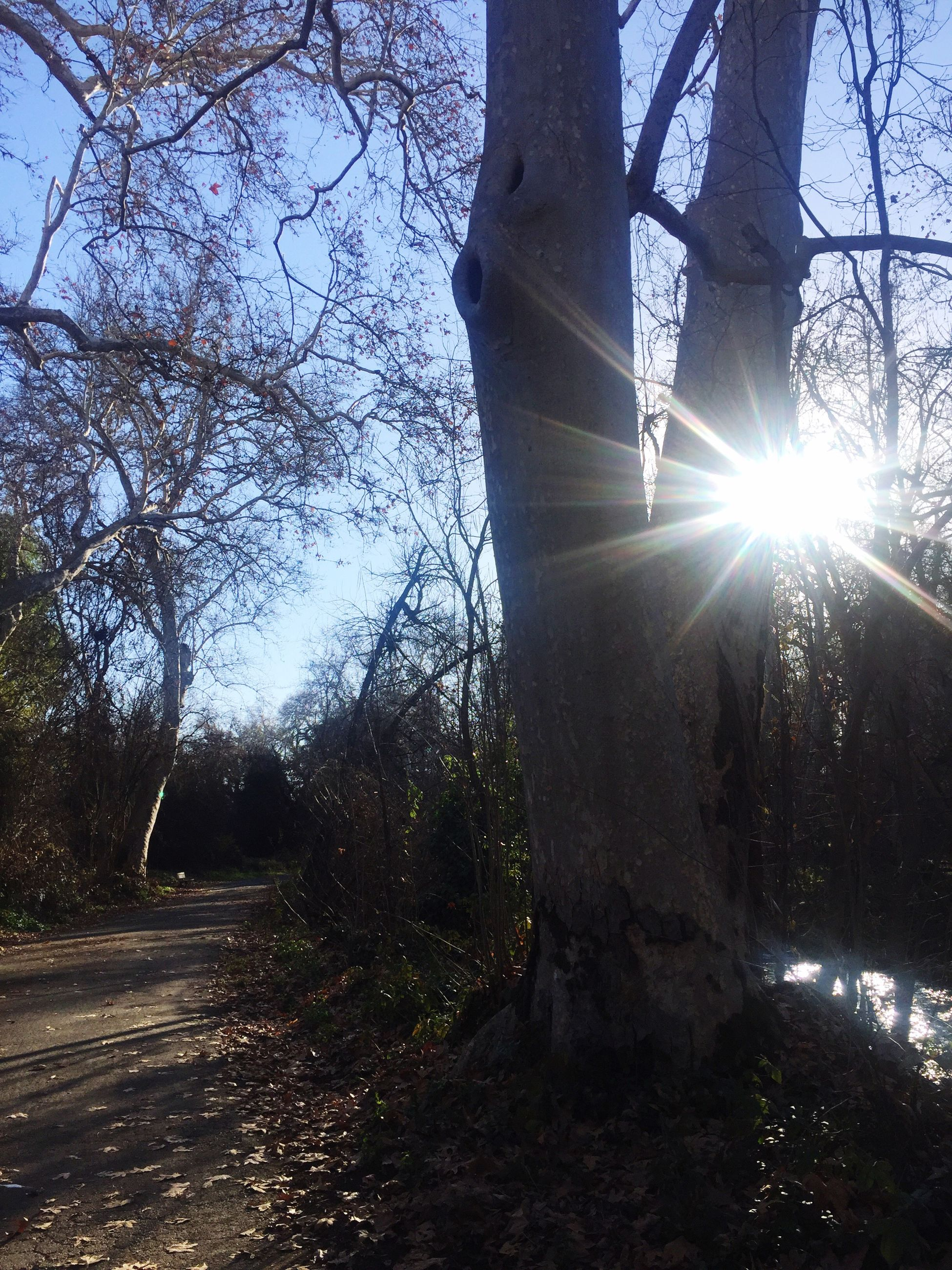 tree, sunbeam, sun, lens flare, sunlight, tree trunk, branch, nature, outdoors, forest, tranquility, no people, day, bare tree, growth, beauty in nature, sky