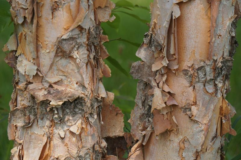 Close-Up Of Birch Tree Trunk