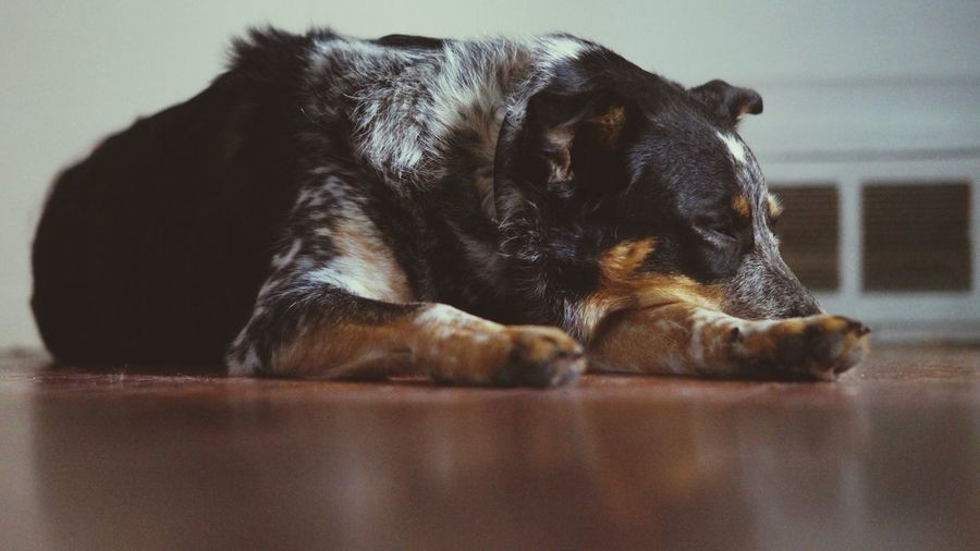 Dog relaxing on hardwood floor at home