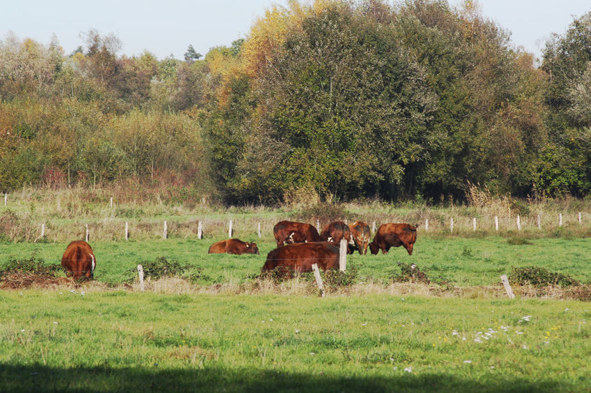 cow's Trees Autumn Barbed Wire Epe Veluwe Veenland Peat Bog Moor  Peatlands Animal Themes Nature Photography Nederland Netherlands Tree Grazing Field Group Of Animals Cow Grass Sky Landscape Livestock Medium Group Of Animals Grass Area Leaves Fallen