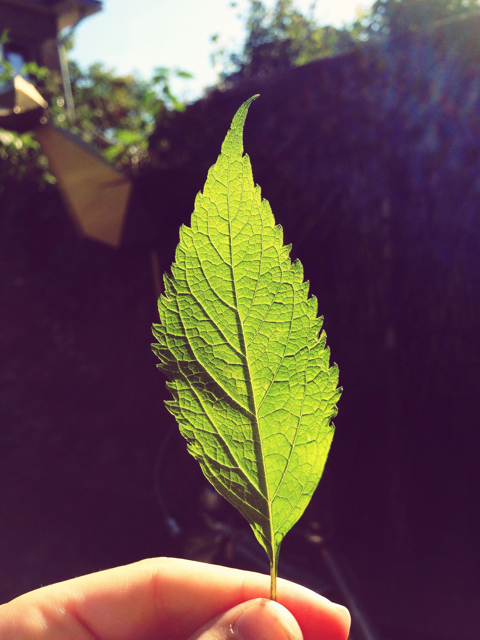 leaf, person, part of, close-up, leaf vein, unrecognizable person, holding, cropped, focus on foreground, human finger, personal perspective, day, outdoors, green color, nature, tranquility, freshness