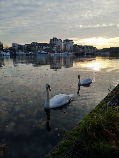 Swans in lake against sky during sunset