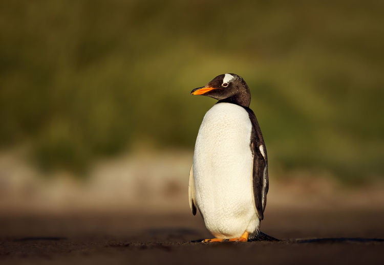 Full length of penguin perching on land