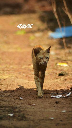 walking is cat EyeEm Selects Cat Walkin Animal Pro Llike A Tiger My Best Travel Photo