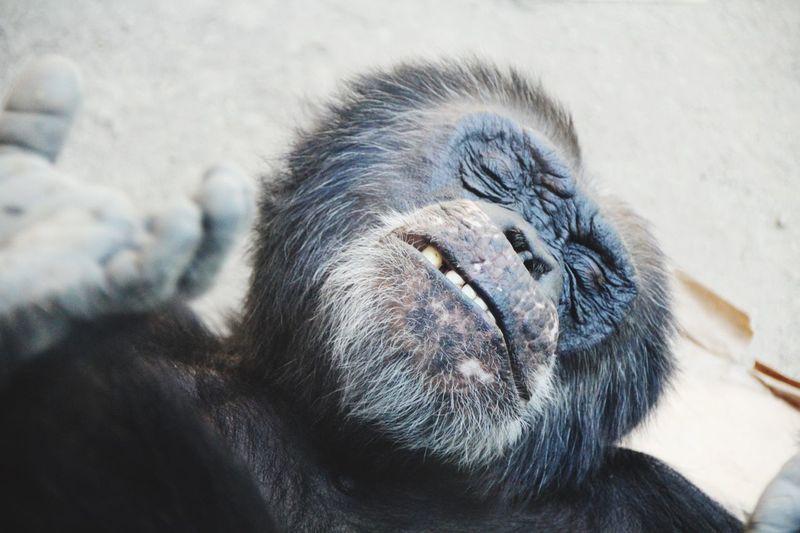 Close-up of gorilla sleeping