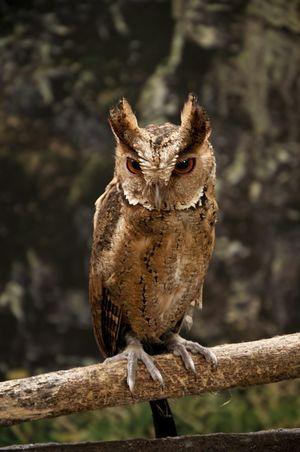 Bird Bird Of Prey Bird Photography Owl Zoo Nocturnal