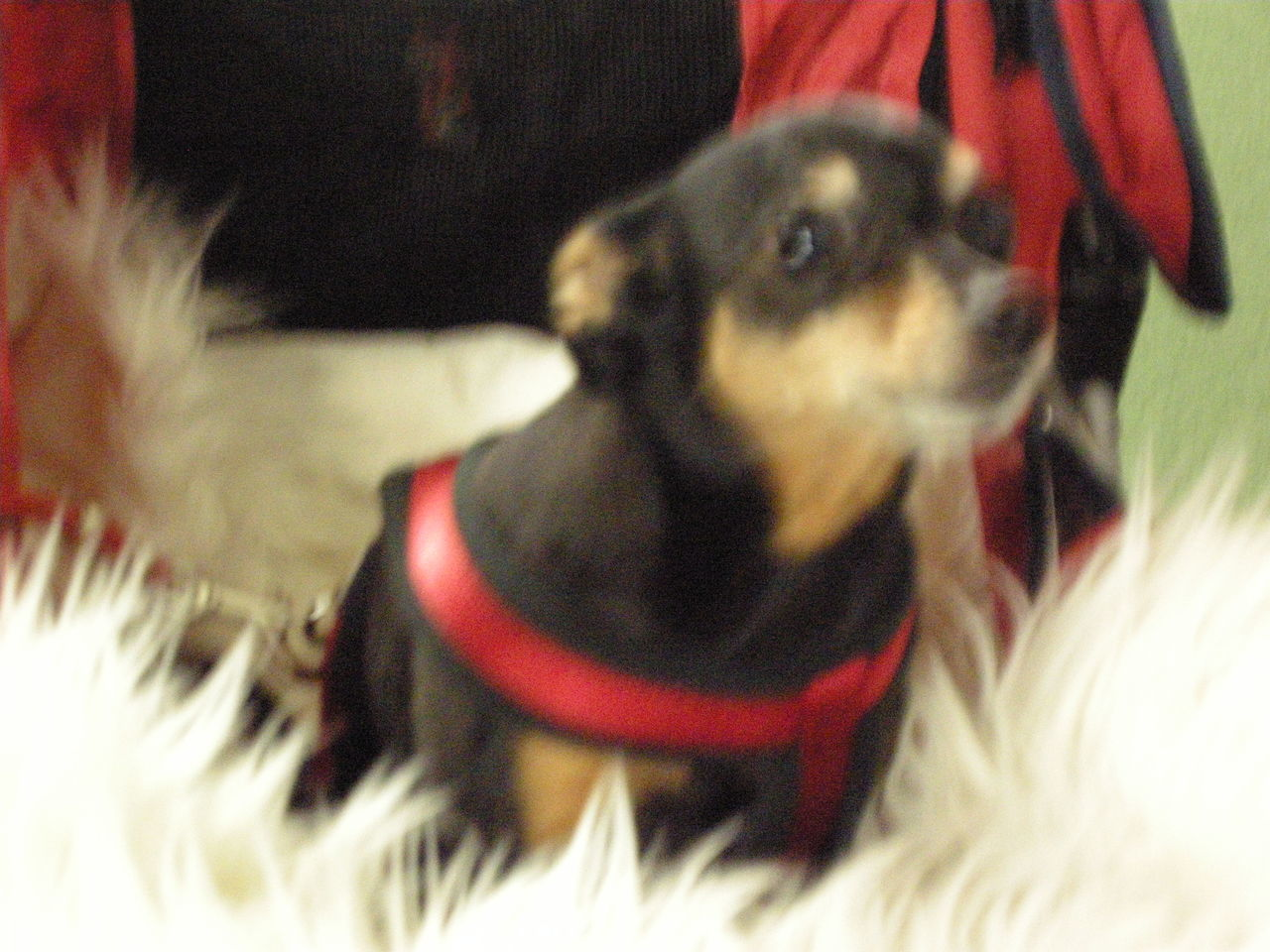 pets, one animal, domestic animals, animal themes, dog, mammal, indoors, close-up, christmas, pet clothing, no people, day