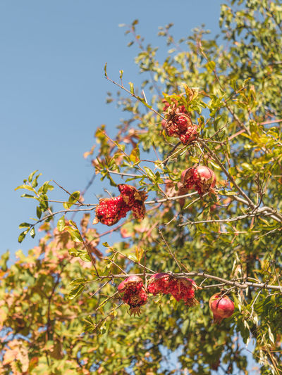 Agios Ioannis Agriculture Beauty In Nature Day Farming Food And Drink Freshness Fruit Growth Low Angle View Nature No People Organic Living Outdoors Plant Pomegranate Produce Red Red Fruit Split Pomegranate