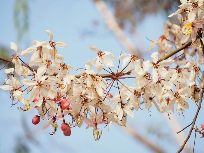 Cassia bakeriana EyeEm Selects Cultures Hanging Sky Close-up Cherry Tree Blooming Cherry Blossom