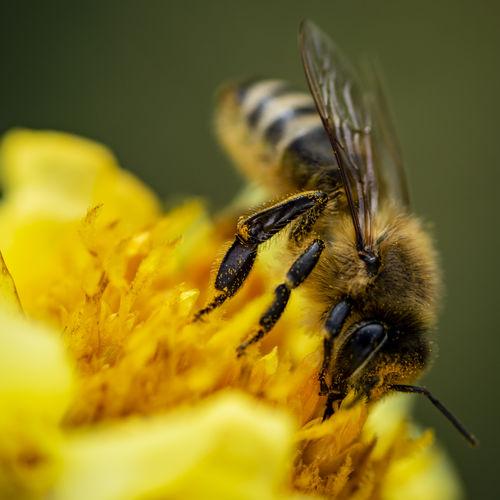 Bee Flower Dust