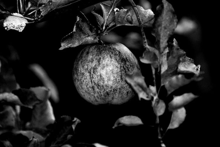 Black Background Tree Fruit Close-up