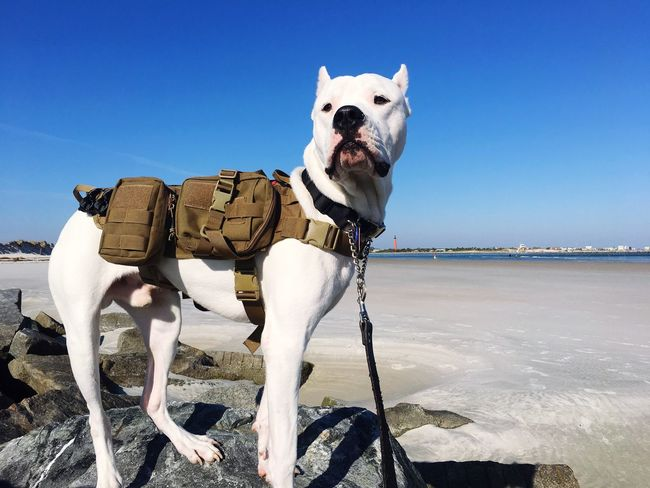 Service Dog Argintine Mastiff Dogo Argentino EyeEm Selects Domestic Animals Mammal Animal Themes Dog Sky Clear Sky Nature Outdoors Pets No People Blue Day One Animal Sea Beauty In Nature